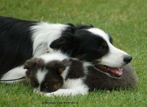border_collie_01