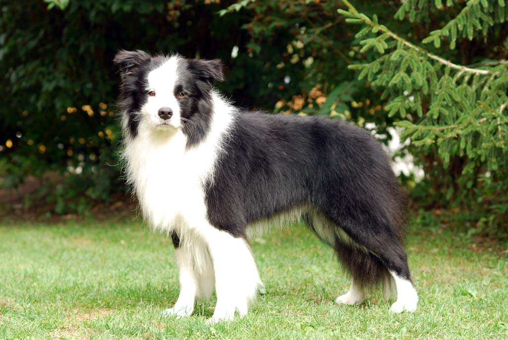 Border Collie Club Fur Britische Hutehunde